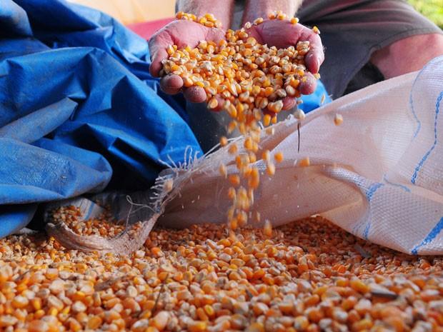 Colheita de milho no DF; governo estima prejuízo de R$ 116 milhões na produção do grão após estiagem (Foto: Pedro Ventura/Agência Brasília)