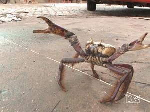 Período de defeso protege 'andada' do caranguejo-uçá no Maranhão (Foto: Reprodução / TV Mirante)