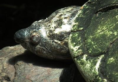 Madagascar big-headed turtle  (Foto: Wikimedia Commons)
