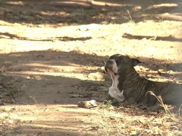 Pit bull escapou de uma chácara e atacou idoso que estava sentado debaixo de uma árvore (Foto: Reprodução/TV TEM)