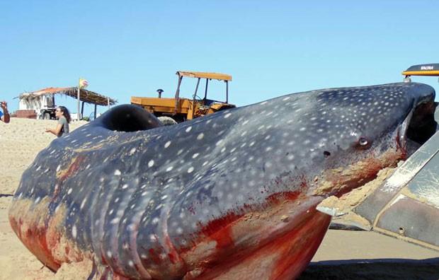Corpo do tubarão-baleia será enterrado nas areias da praia do farol, em Galinhos (Foto: Flawber Olinto e Nathana Raquel/Galinhos On Line)