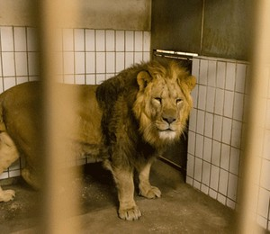 O novo leão deve procriar com as duas femêas que já vivem no Zoológico de Copenhagen, na Dinamarca (Foto: Divulgação / Zoológico de Copenhagen)