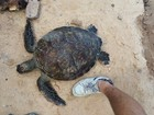 Segunda tartaruga-verde é achada morta na praia de Garça Torta, AL