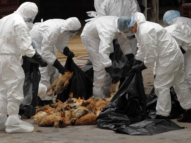 Funcionários da agência de saúde de Hong Kong colocam galinhas mortas dentro de sacos de lixo em um mercado de aves nesta quarta-feira (21). Serão abatidos cerca de 17 mil frangos após umas galinha morta ser diagnosticada com H5N1, o vírus da gripe aviári (Foto: Tyrone Siu/Reuters)