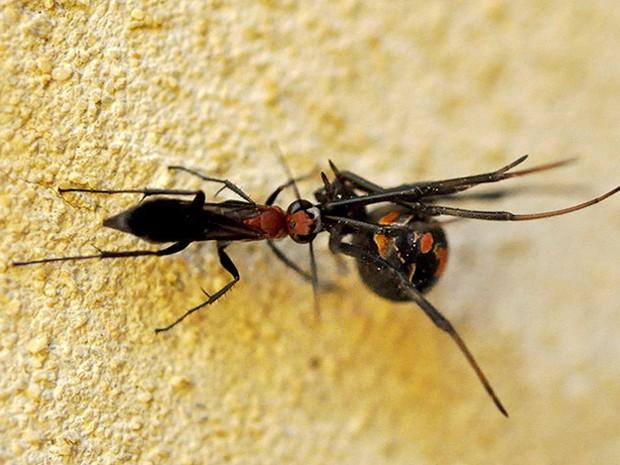 Vespa aplica ferroada em aranha-das-costas-vermelhas, na Austrália (Foto: Universidade de Adelaide/Divulgação)