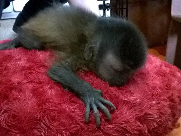 Macaco com cerca de 10 dias de vida foi resgatado em Coari (Foto: Divulgação/Ipaam)