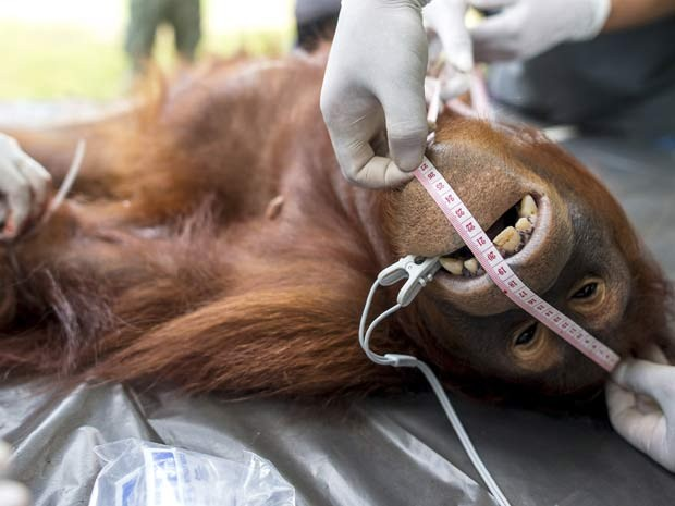 Orangotango é medido durante exames em centro de conservação da Tailândia (Foto: REUTERS/Athit Perawongmetha)