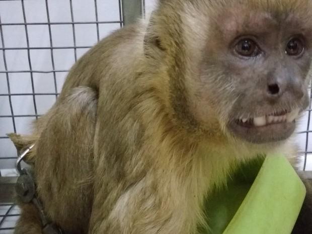 Macaco ficou 4 anos acorrentado em cativeiro (Foto: Grasiela Pacheco/Naturatins/Divulgação)