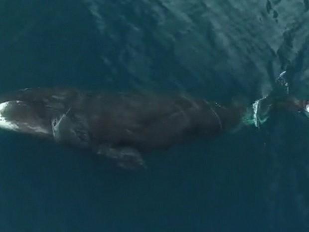 Cientistas usam drones para capturar imagens raras de baleias-da-groenlândia (Foto: Reprodução/BBC)