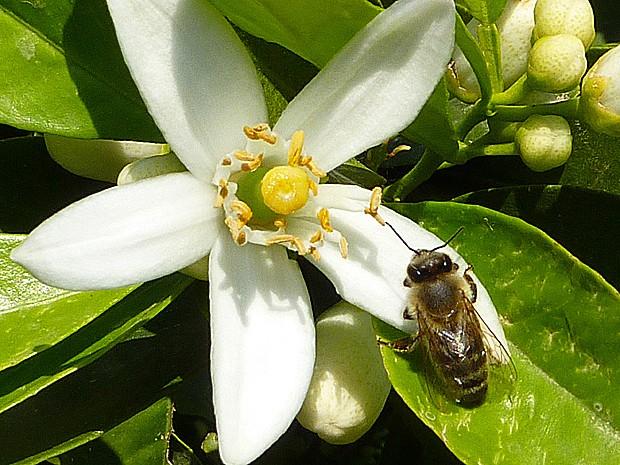 Abelha poliniza flor do gênero Citrus (Foto: Geraldine Wright/Science)