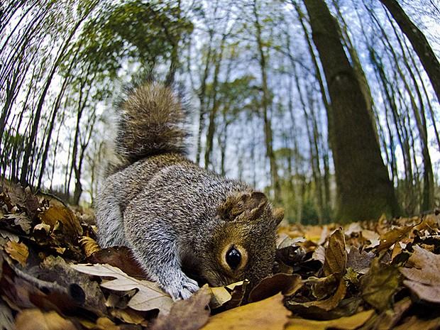 'Montei um timer remoto na câmera, criei uma armadilha com nozes e esperei os esquilos chegarem. Uma vez que eles já estavam ali e sabiam onde a comida estava, tornei um pouco mais difícil para que obtivessem as nozes. Isso significou que eles tinham que cavar e, dessa forma, acabaram imitando o movimento de esconder algo' (Foto: Mark Fox/BBC)