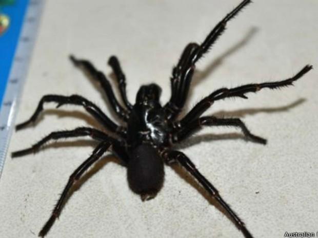 Equipe ordenha aranha mais venenosa da Austrália para produzir antídoto do veneno (Foto: BBC)