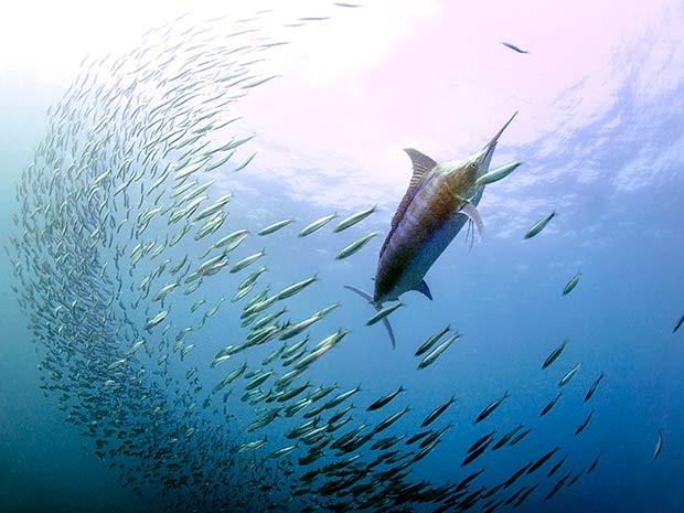 Marlim azul ataca bola de sardinhas durante migração de cardume na costa da África do Sul (Foto: Daniel Botelho)