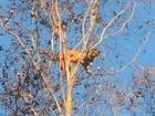 Onça suçuarana é fotografada a 20 metros do chão nos galhos de árvore