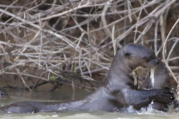 Ariranhas no Pantanal (Foto: Douglas Trent)