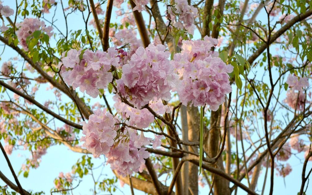 Ipê rosa florindo em Cacoal (Foto: Jackson Diego/Arquivo Pessoal)