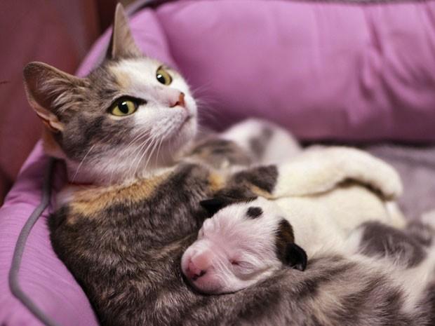 O filhote de pit bull Noland, órfão, encontrou uma nova família essa semana.  A gata Lurleen, que teve quatro filhotes recenemente, começou a cuidar do cão abandonado e o 'adotou' como filho (Foto: Liga de proteção animal de Cleveland/ AP)