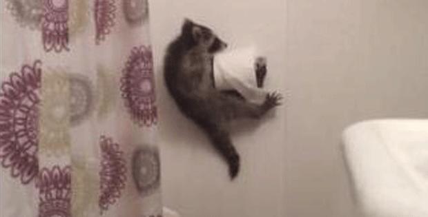Filhote de guaxinim cai do teto de banheiro de casa dos EUA (Foto: Reprodução)