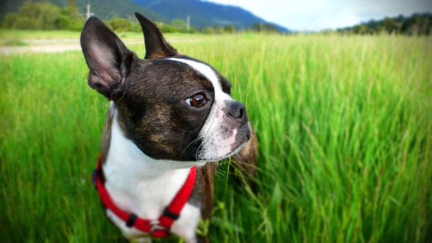 Boston Terrier in a green field (Foto: Getty Images/iStockphoto)