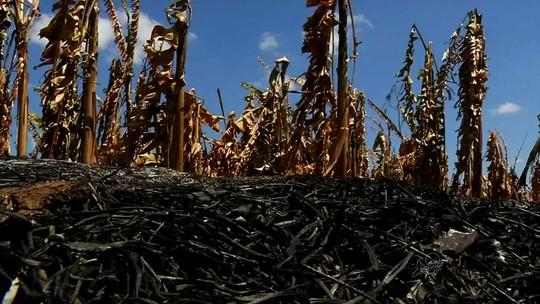Incêndio destrói 12 hectares de plantação de banana no interior do CE