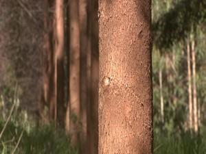 Eucalipto permite atraso na produção se mercado estiver ruim (Foto: TV Integração/Reprodução)