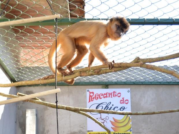 Macaca ganhou novo recinto para continuar vivendo com família em São Carlos, SP (Foto: Felipe Turioni/G1)