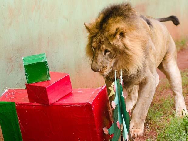 Leão ganhou caixas de presente com pedaços de carne em Ribeirão Preto, SP (Foto: Érico Andrade/G1)