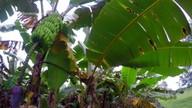 Parte 2: Governo quer evitar nova praga em bananais e produtor de melancia pede ajuda