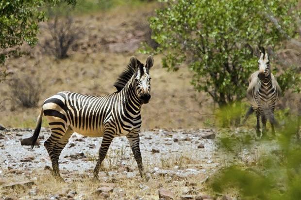 A zebra-da-montanha (Equus zebra) difere da zebra-da-planície por ter listras apenas pretas e em maior número. A zebra-da-montanha está ameaçada de extinção (Foto: © Haroldo Castro/ÉPOCA)