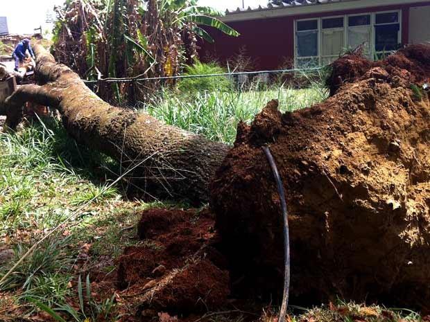 Árvore de aproximadamente 20 metros que caiu sobre churrasqueira e casa vizinha (Foto: Isabella Formiga/G1 DF)