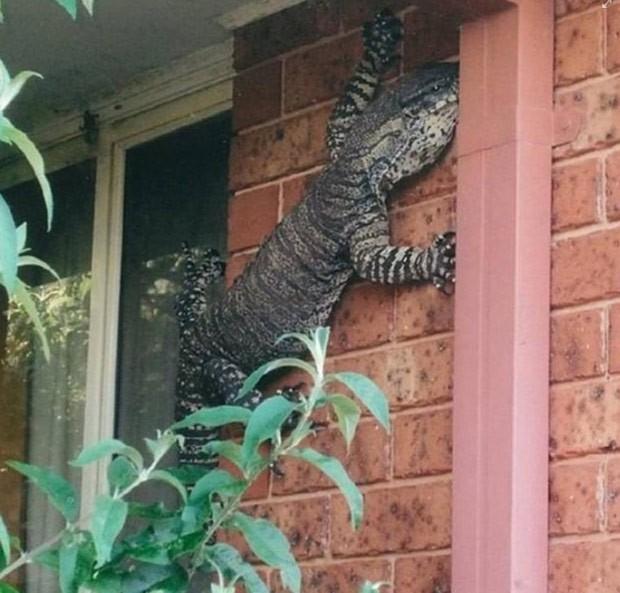 Australiano flagrou lagarto enorme na parede de sua casa (Foto: Reprodução/Facebook/Shit Aussies say)