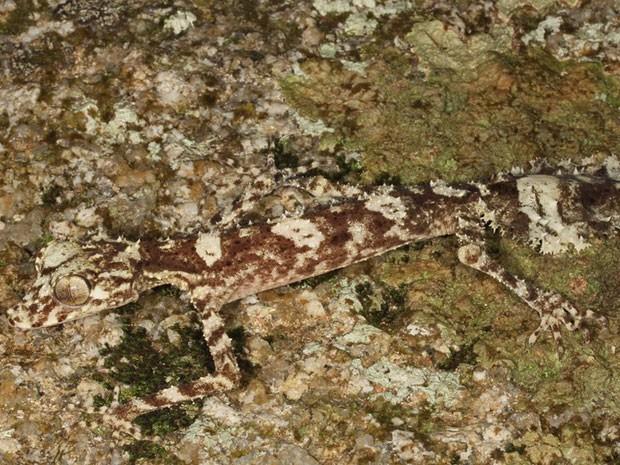 A lista também inclui um tipo de geconídeo (Saltuarius eximius), que pertence a família de répteis escamados. Ele tem uma longa cauda que o ajuda na camuflagem e seu habitat é no nordeste da Austrália.  (Foto: Conrad Hoskin/BBC)