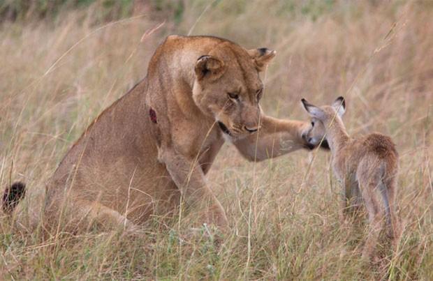 Filhote de antílope foi 'adotado' por leoa em reserva na África. (Foto: Caters)