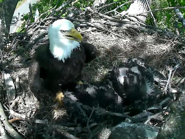 A águia-careca The First Lady, mãe dos filhotes Freedom e Liberty, é vista em seu ninho no U.S. National Arboretum, em Washington  (Foto: Reprodução/DC Eagle Cam/U.S. National Arboretum)