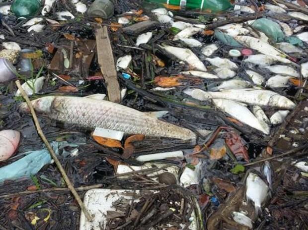 Peixes ainda são encontrados mortos em Santos e Cubatão (Foto: Robynson Señoraes / G1)