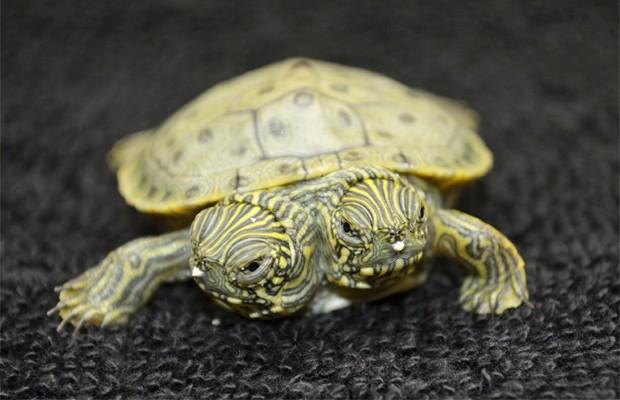 """Uma tartaruga de duas cabeças nasceu há pouco mais de uma semana no Zoológico de San Antonio, nos Estados Unidos. O animal, segundo a agência de notícias Associated Press, foi batizado de """"Thelma e Louise"""". A tartaruga está sendo exibida nesta quinta-feira (26) no aquário do zoo, e é a única de sua ninhada a ter duas cabeças (Foto: San Antonio Zoo/AP)"""