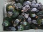 Polícia apreende 101 aves em veículo e multa trio em cerca de R$1 milhão