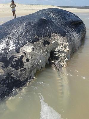 Cachalote encalhou na praia de Olho d'água, no litoral sul potiguar (Foto: Divulgação/Prefeitura de Canguaretama)