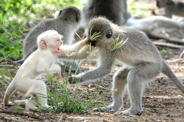 Macaco albino no Parque Nacional Kruger (Foto: Christy Strever/Caters)