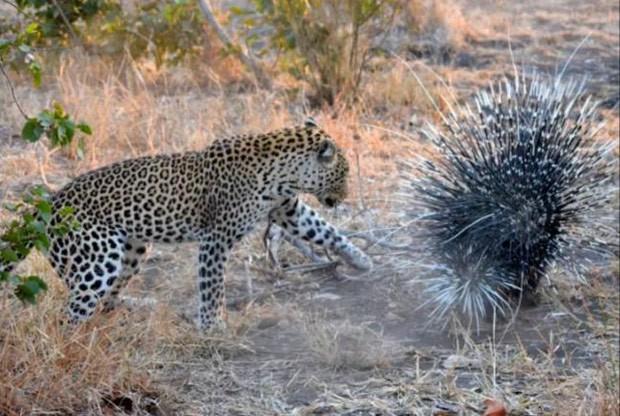 Leopardo se deu mal ao atacar porco-espinho em parque sul-africano (Foto: Reprodução/YouTube/Endless Summer Tours)