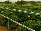 Em SP, pesquisa estuda como a poluição afeta as lavouras de café