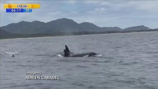 Baleias orcas são avistadas em praias de Florianópolis