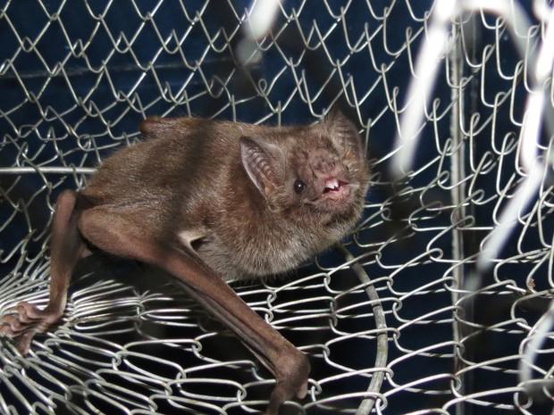 Morcego do tipo Desmodus Rotundus mostra os dentes após ser capturado em Jacarepaguá, Zona Oeste do Rio (Foto: Douglas Marques/ Arquivo Pessoal)
