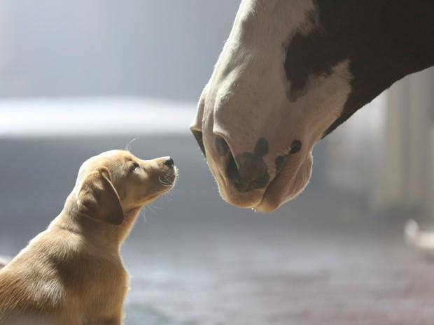 Propaganda da Budweiser retrata a amizade entre um cavalo e filhote de labrador. (Foto: Divulgação)