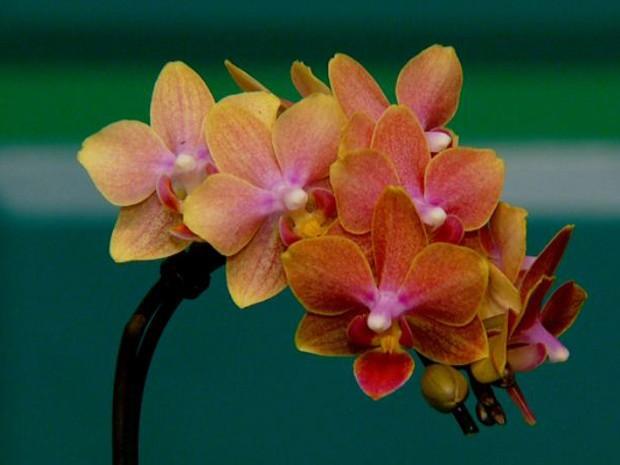 """Orquídea """"supermini"""" tem flores de apenas 4 centímentros (Foto: Toni Mendes / EPTV)"""