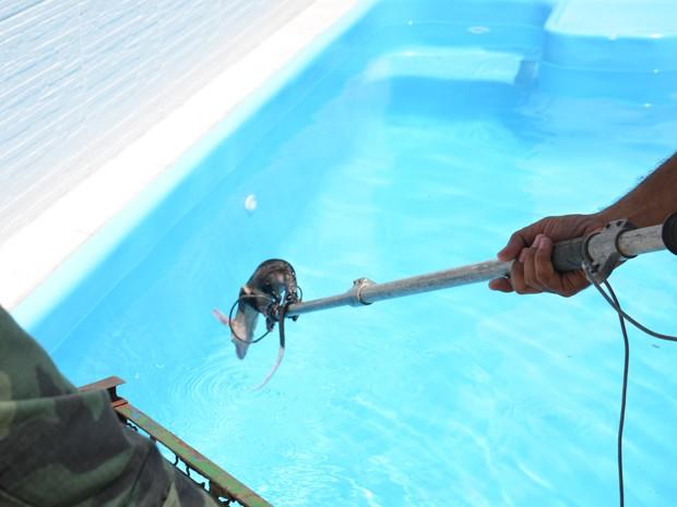 Um timbu foi capturado na manhã desta segunda-feira (28) quando tomava banho na piscina de um prédio no bairro Bessa em João Pessoa (Foto: Walter Paparazzo/G1)
