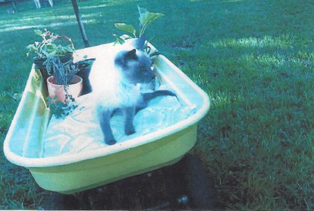 O gato siamês Scooter  (Foto: Livro Guinness dos Recordes)