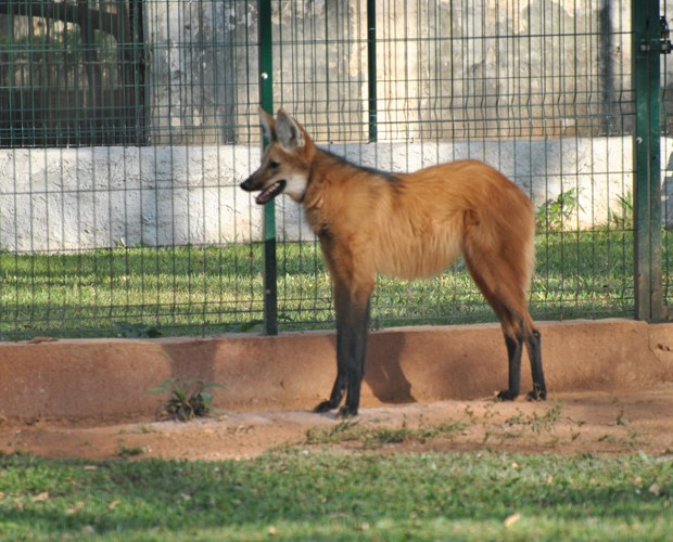 Ully, uma lobo-guará fêmea do Zoológico de Brasília que pode fornecer óvulos para clonagem no futuro (Foto: Divulgação/Fundação Jardim Zoológico de Brasília)