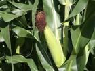 Circuito Tecnológico percorrerá 150 fazendas de milho de MT em abril