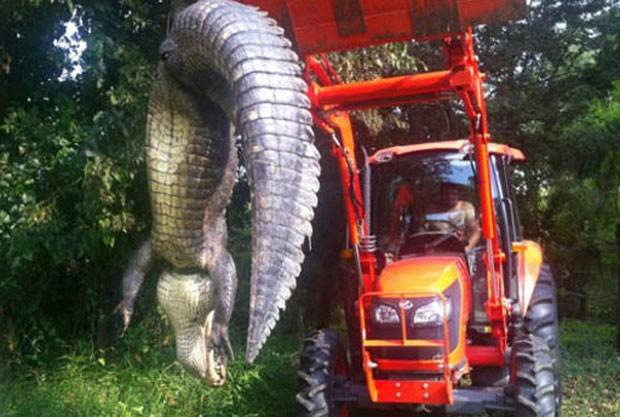 Jim White usou trator para erguer aligátor (jacaré americano) de 4,06 metros (Foto: Reprodução/Facebook/Louisiana Department of Wildlife)